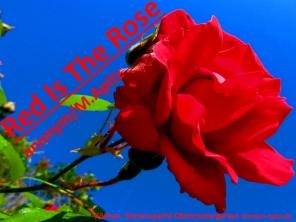 Red Is The Rose, anonym / M. Apitz (Manfred Apitz); Köthen, Gartensparte Obstmustergarten Sparte: Irland Volkslied
