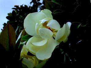 Bild: Magnolie (Magnolia grandiflora) Bildlegende: Bildquelle: Musikverlag Apitz