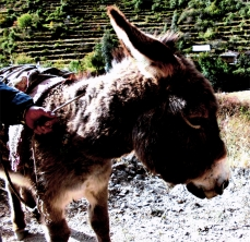 Peru Ollantaytambo, Esel – Arbeitstier ©noten-apitz.de; Bildquelle: Musikverlag Apitz